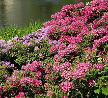 Rhododendron named Azalea abloom by Arletta Cwalina