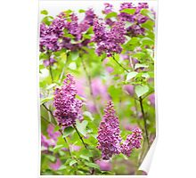 Purple Syringa vulgaris Poster