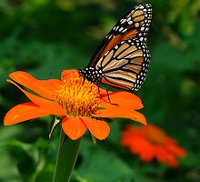 Monarch in Orange by Joe Jennelle