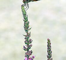 Dragonfly by Debbie Pinard