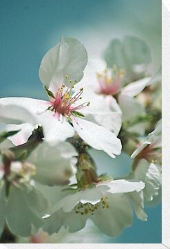Almond Blossom 3 by garts