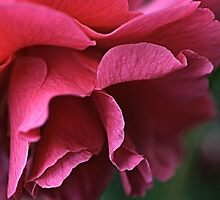 Camellia Pink by Joy Watson