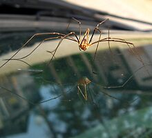 Spider Reflection by Tonee Christo
