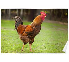 beautiful young Rhode Island Red Poster