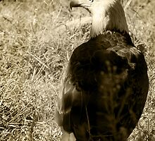 Eagle in Sepia by Corri Gryting Gutzman