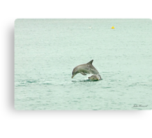 Dolphins playing leap frog Canvas Print