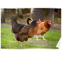 brown Rhode Island Red hens Poster