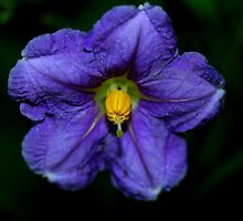 Solanum aviculare  by andrachne