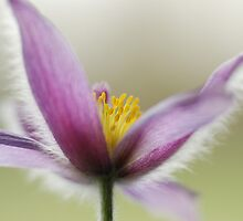 Pulsatilla vulgaris  by ©The Creative  Minds