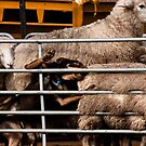 Herding Fail by Di Edwards