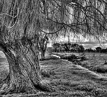 Willow trunks by Leigh Monk