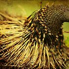 Old Man Banksia by Margi