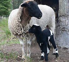 Little Pinto Lamb & Mum by louisegreen