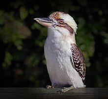 The Kookaburra by Tainia Finlay