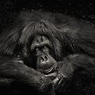 Sabah Orang-utan - Borneo by Dean Mullin