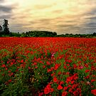 Red Poppies by Charles & Patricia   Harkins ~ Picture Oregon