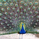 Peacock by Belinda Fletcher