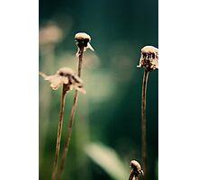 Spent Daisies Photographic Print