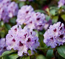 Rhododendron called Azalea purple flowers by Arletta Cwalina