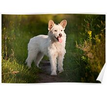 white stray dog in meadow Poster