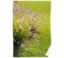 Grass clump Pennisetum alopecuroides Poster