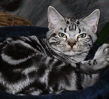 Awesome American Shorthair by felinefriends