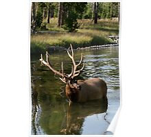 Elk in Yellowstone Poster