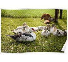Muscovy Duck young birds group Poster