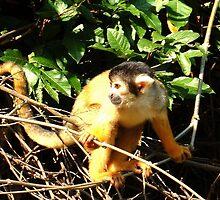 Capuchin Monkey - Amazon Basin by Honor Kyne