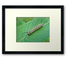 Monarch Butterfly Caterpillar - Danaus plexippus Framed Print