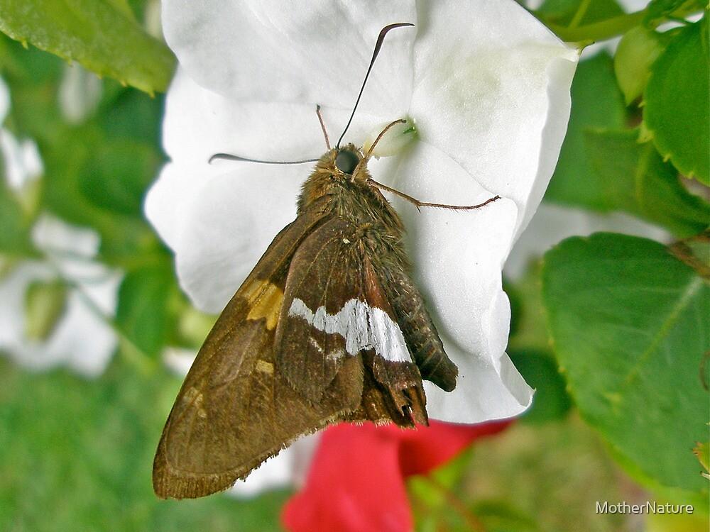 Silver-spotted Skipper - Epargyreus clarus by MotherNature