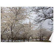 white cherry trees n steeple Poster