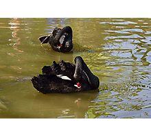 2 Black Swans Photographic Print