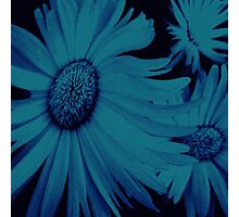 Gerbera in Blue Photographic Print