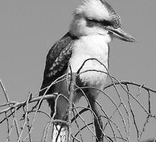 Kookaburra in B&W, Gold Coast, Australia by krista121