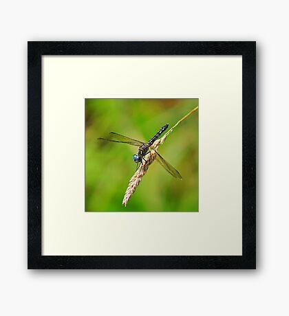 Meadowhawk Framed Print