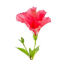Beautiful pink hibiscus flower Photographic Print