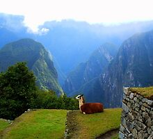 Llama in the Andes  by Honor Kyne