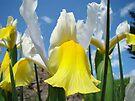 Floral Yellow White Irises Flowers art prints Baslee Troutman by BasleeArtPrints