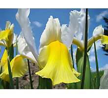 Floral Yellow White Irises Flowers art prints Baslee Troutman Photographic Print