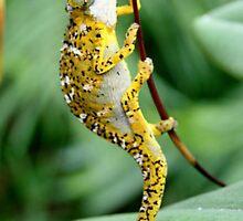 Tiger Chameleon by calummaimages