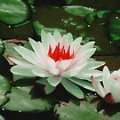 Water Lily by Asoka