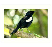 Seychelles Magpie Robin Art Print