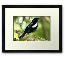 Seychelles Magpie Robin Framed Print