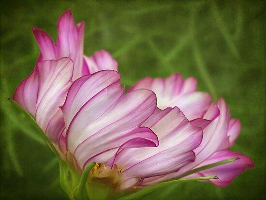 Dancing cosmos petals by Celeste Mookherjee