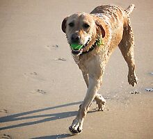 Labrador at Play by Tess Vincent