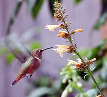 Hummingbird 2 by Jen Moody