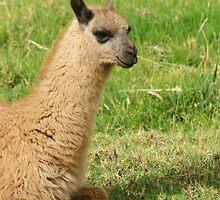 Young Llama Lying Down by rhamm