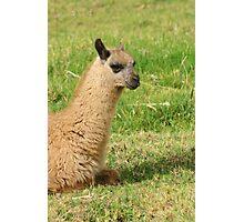 Young Llama Lying Down Photographic Print
