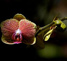 Leu Gardens Orchid by Glennis  Siverson